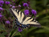 E. Tiger Swallowtail Butterfly Photographic Print by Lynn M. Stone