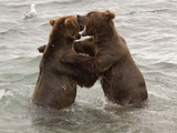 "Grizzly Bears (Aka Alaska Brown Bears) ""Dancing"", Alaska Photographic Print by Lynn M. Stone"