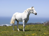 White Arabian Horse on Hill Above Pacific, California Photographic Print by Lynn M. Stone
