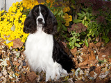 English Springer Spaniel by Chrysanthemums Photographic Print by Lynn M. Stone