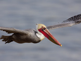 California Brown Pelican in Flight Photographic Print by Lynn M. Stone