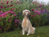 English Setters Photographic Print by Lynn M. Stone