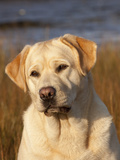 Yellow Labrador Retriever, Portrait Photographic Print by Lynn M. Stone