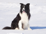 Border Collie in Snow Photographic Print by Lynn M. Stone