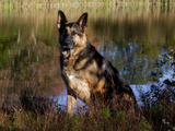 German Shepherd Dog by Pond, Connecticut Photographic Print by Lynn M. Stone