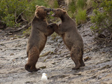 """Dancing"" Grizzly Bears, Alaska Photographic Print by Lynn M. Stone"