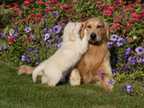 Golden Retriever Pup with Adult Photographic Print by Lynn M. Stone