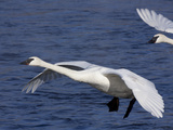 Trumpeter Swans in Flight Photographic Print by Lynn M. Stone