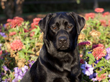 Black Labrador Retriever, Portrait Photographic Print by Lynn M. Stone