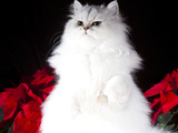 White Persian Cat Photographic Print by Lynn M. Stone