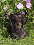 Wire-Haired Dachshund and Roses, Illinois Photographic Print by Lynn M. Stone