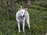 White German Shepherd in Spring Flowers, Illinois Photographic Print by Lynn M. Stone