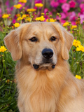 Golden Retriever, Portrait Photographic Print by Lynn M. Stone
