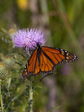 Monarch on Thistle Photographic Print by Lynn M. Stone