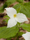 Great White Trillium, Illinois Photographic Print by Lynn M. Stone