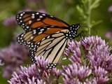 Monarch Butterfly Photographic Print by Lynn M. Stone