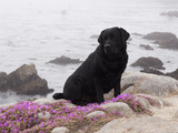 Black Labrador Retriever with Pink Flowers on Cliff, California Photographic Print by Lynn M. Stone
