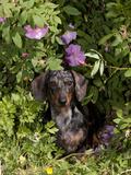 Smooth-Haired Mini Dachshund Fotografisk tryk af Lynn M. Stone