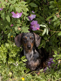 Smooth-Haired Mini Dachshund Photographic Print by Lynn M. Stone