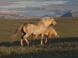 Wildhorse Palomino Stallion Late Day, Wyoming Photographic Print by Lynn M. Stone