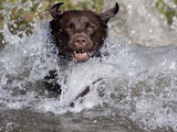 Chocolate Labrador Retriever Water Entry Photographic Print by Lynn M. Stone