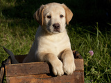 Yellow Labrador Retriever Puppy in Wooden Box Photographic Print by Lynn M. Stone