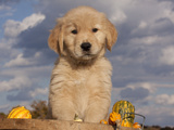 Golden Retriever Puppy in Basket Photographic Print by Lynn M. Stone