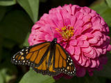 Monarch Butterfly on Zinnia Photographic Print by Lynn M. Stone