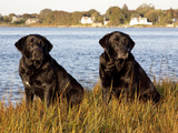 Pair of Black Labrador Retrievers Photographic Print by Lynn M. Stone