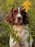 English Springer Spaniel in Field Photographic Print by Lynn M. Stone