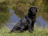 Black Labrador Retriever by Pond Photographic Print by Lynn M. Stone