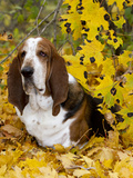 Basset Hound in Yellow Maple Leaves Photographic Print by Lynn M. Stone