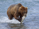 Grizzly Bear with Salmon Photographic Print by Lynn M. Stone