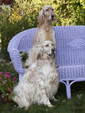 English Setters and Wicker Couch Photographic Print by Lynn M. Stone