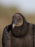 Black Vulture, Portrait Photographic Print by Lynn M. Stone