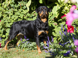 Roittweiler Dog Photographic Print by Lynn M. Stone