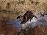 Chocolate Labrador Retriever Water Entry Photographic Print by Lynn M. Stone