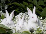 Three Baby White New Zealand Rabbits Photographie par Lynn M. Stone