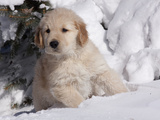 Golden Retriever Puppy in Snow Photographic Print by Lynn M. Stone