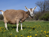 Toggerburg Goat (Wisconsin, in Pasture Photographic Print by Lynn M. Stone