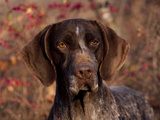German Short Hair Pointer, Portrait Photographic Print by Lynn M. Stone