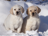 Pair of Yellow Labrador Retriever Puppies in Snow Photographic Print by Lynn M. Stone