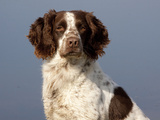 English Springer Spaniel, Portrait Photographic Print by Lynn M. Stone