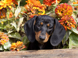 Smooth-Haired Mini Dachshund Puppy in Box Photographic Print by Lynn M. Stone