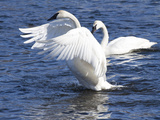 Trumpeter Swan Stretching Wings Photographic Print by Lynn M. Stone