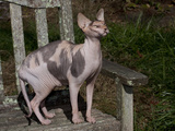Hairless Sphynix Cat (Pure Breed) Photographic Print by Lynn M. Stone