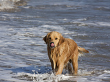 Golden Retriever in Pacific Ocean Photographic Print by Lynn M. Stone