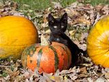 Black Kitten on Pumpkin Photographie par Lynn M. Stone