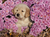 Golden Retriever Puppy in Chrysanthemums Photographic Print by Lynn M. Stone