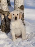 Yellow Labrador Retriever Puppy in Snow Photographic Print by Lynn M. Stone